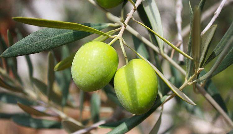 Tunisie : 4 millions d'oliviers plantés en 2017