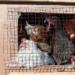 Vers la suppression des cages pour les animaux d'élevage en Europe